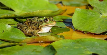 How to Attract Pond Frogs