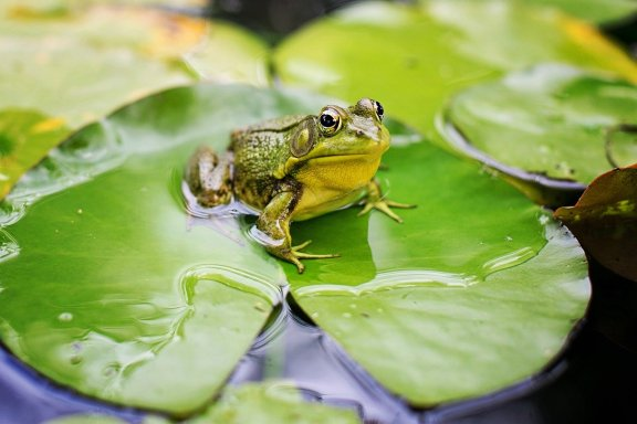 Pond Frogs Lilies