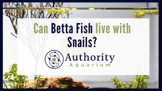 can betta fish live with snails