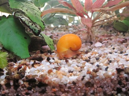 mystery-snail-for betta fish