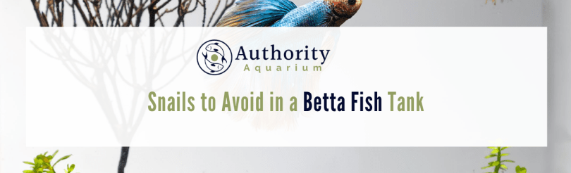 snails to avoid with betta fish