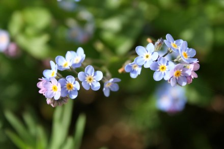 Water Forget-Me-Not Pond Shade Plant