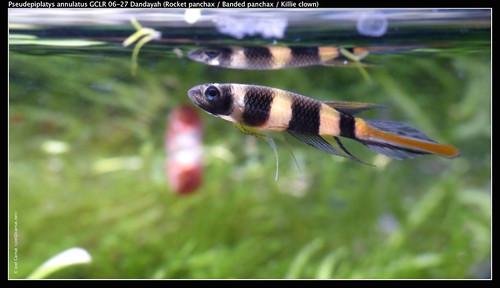Clown Killifish 5 gallon tank