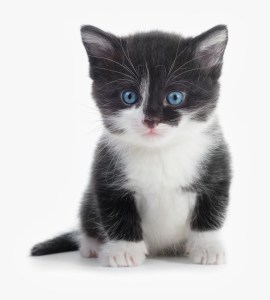 black and white kitten with blue eyes looking directly at the observer