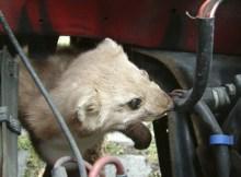 Ein Marder im Auto, die beschädigten Kabel werden allgemein als Marderschaden bezeichnet. Bildquelle: © Andreas Böhm - Fotolia.com