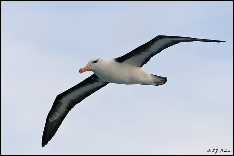 ANT_BlackBrowedAlbatross01