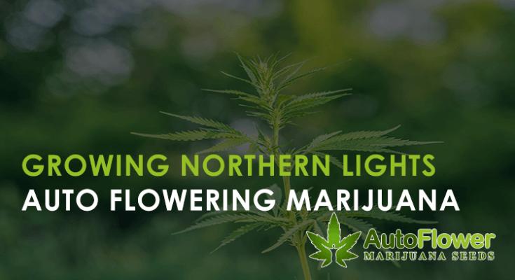 northern lights auto marijuana