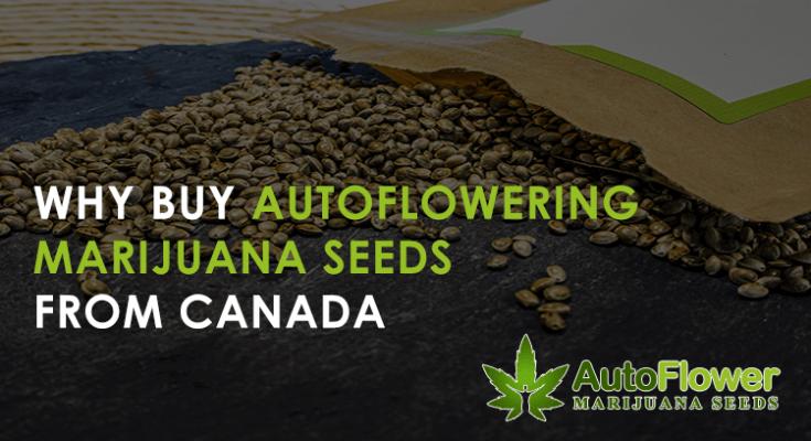 autoflowering marijuana seeds canada