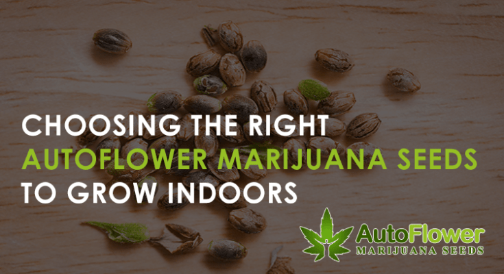 autoflower marijuana seeds indoors