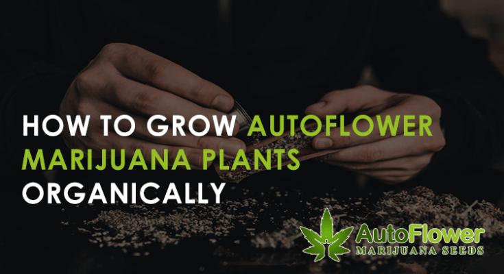 organic marijuana plants