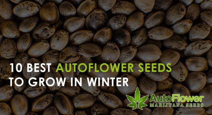 autoflowers winter