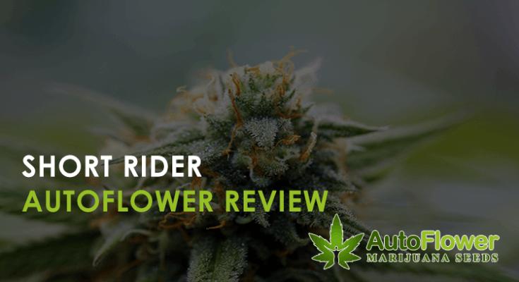 short rider autoflower