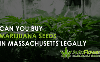 can you buy marijuana seeds in massachusetts
