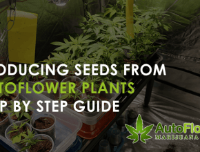 cheap auto flowering seeds