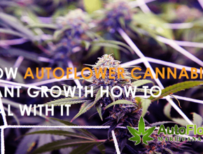autoflower marijuana seeds for sale
