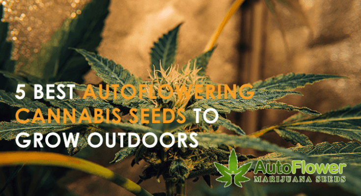 best autoflowers for outdoors