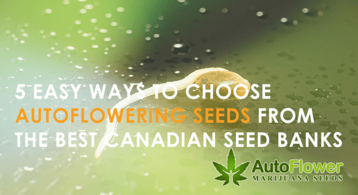 easy to grow autoflowering cannabis