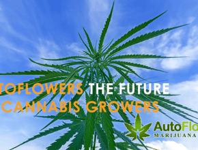 best autoflowering cannabis seeds