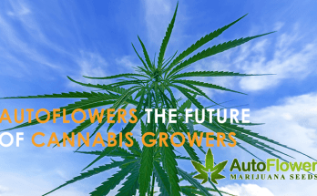 best autoflowering cannabis seeds