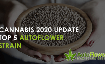 best autoflower strains 2020
