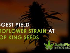 biggest yield autoflower strain