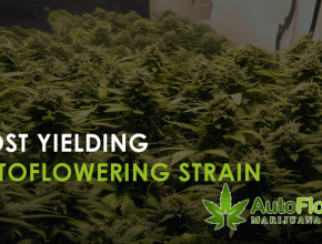 most yielding autoflower strain