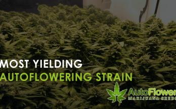 most yielding autoflower strain