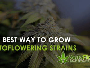 best way to grow autoflowering strains