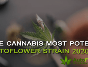 most potent autoflower strain 2020