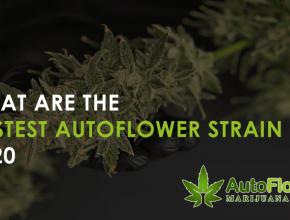 fastest autoflower strain 2020