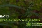 sativa autoflower strains