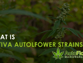 sativa autoflower strains