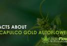acapulco gold autoflower
