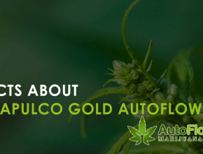 acapulco gold autoflower