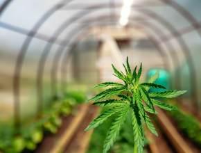 marijuana and pregnancy