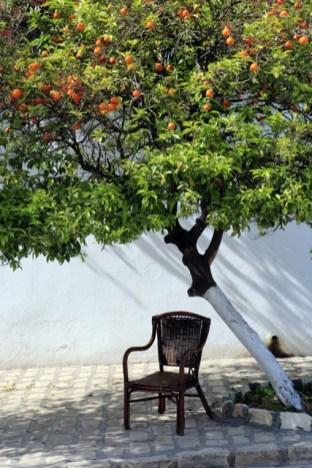 Un oranger , arbre toujours bien présent en Tunisie (Sidi Bou Saïd)