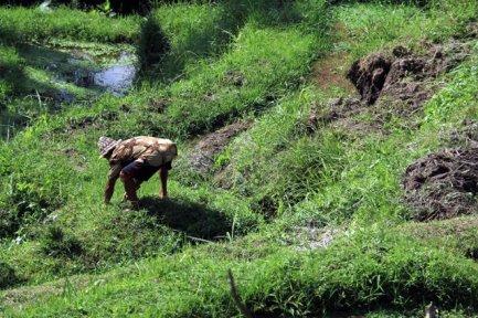 dans les fameuses rizières en terrasse de Tegalalang