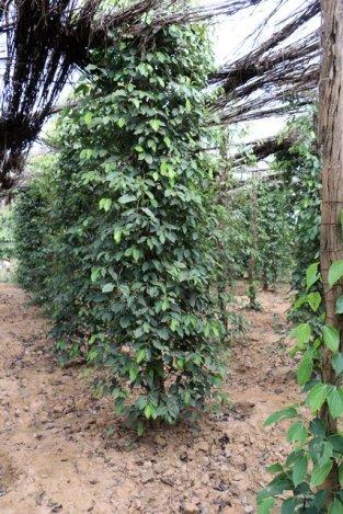 Pieds de poivre. Sothy's ferme biologique cultivant le poivre