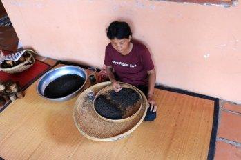 Tri du poivre à la pince à épiler. Sothy's ferme biologique cultivant le poivre