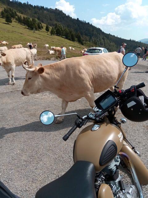 Rencontre bovine (moto road trip) - l'autre ailleurs, une autre idée du voyage