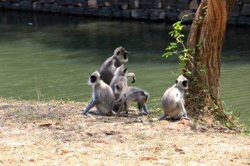 singes, en bas du roc Pidurangala à Sigyria - l'autre ailleurs au Sri-Lanka, une autre idée du voyage