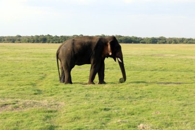 éléphant en liberté dans la réserve de Kadula National Park, mon premier safari photos - l'autre ailleurs au Sri-Lanka, une autre idée du voyage