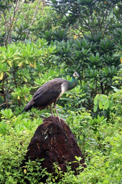 un paon à Mirissa - l'autre ailleurs au Sri-Lanka, une autre idée du voyage