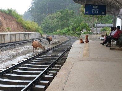 sur les voies, il n'y a pas que des trains qui circulent à Ella - l'autre ailleurs au Sri-Lanka, une autre idée du voyage