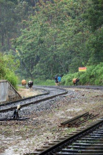 Il n'y pas que des trains qui circulent sur les voies à Ella - l'autre ailleurs au Sri-Lanka, une autre idée du voyage