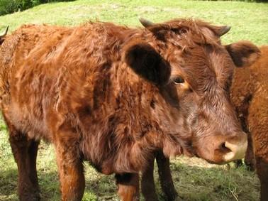 Veaux, Vaches Salers