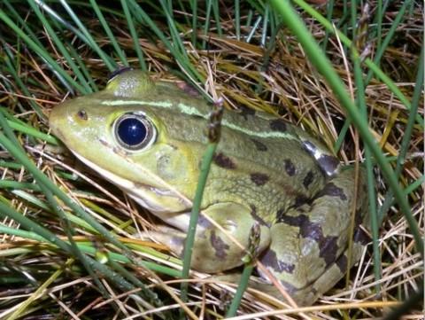Observatoire pour les les amphibiens