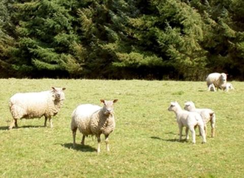 Transhumance ovine, de brbis entre Lot et Cantal