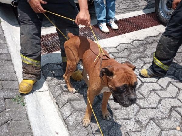 Tras recibir una denuncia ciudadana, a través del el número de emergencias 777 3 12 12 74, los elementos acudieron al lugar a rescatar a dichos animales, que podrían estar perdidos o fueron abandonados en el lugar