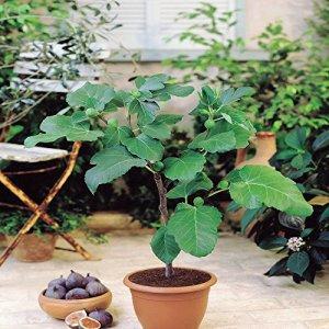 Figuier de Jérusalem/Ficus Carica – 1 arbre